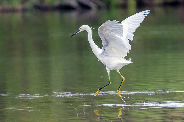 Photograph - Snowy Egret 2743-071219 by Tam Ryan