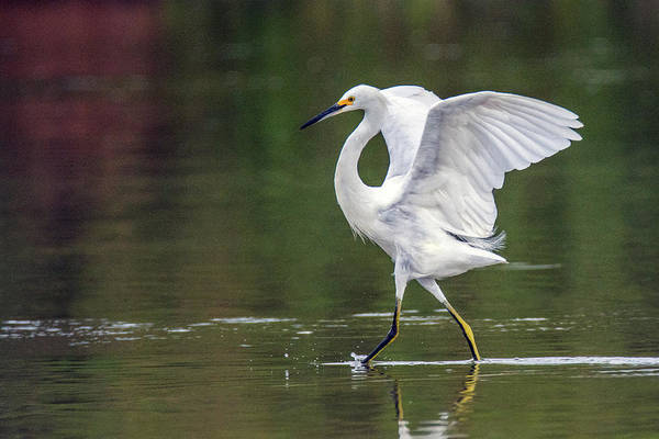 Photograph - Snowy Egret 2746-071219 by Tam Ryan