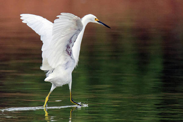 Photograph - Snowy Egret 2758-071219 by Tam Ryan