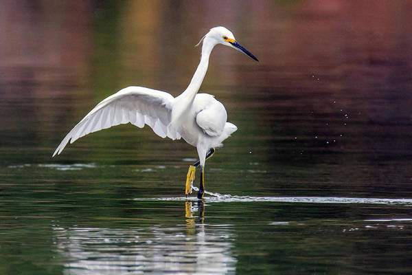 Photograph - Snowy Egret 2768-071219 by Tam Ryan