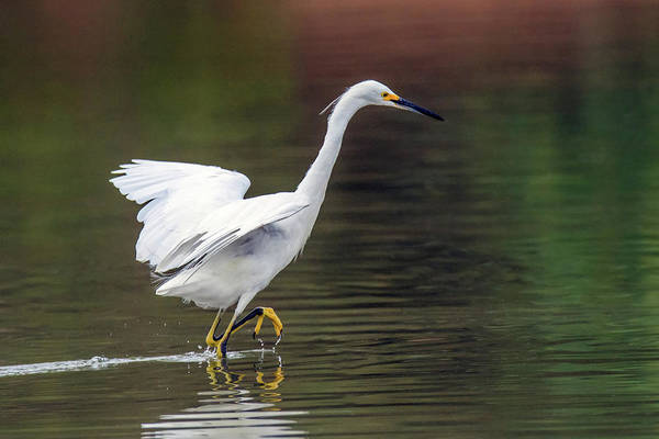 Photograph - Snowy Egret 2773-071219 by Tam Ryan