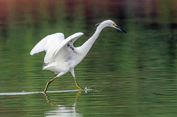 Photograph - Snowy Egret 2777-071219 by Tam Ryan