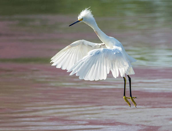 Photograph - Snowy Egret 2943-071619 by Tam Ryan