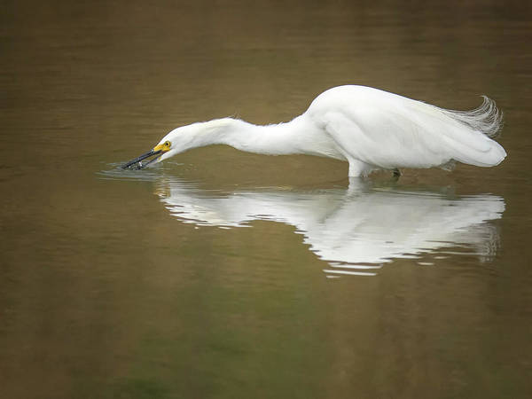 Photograph - Snowy Egret 3028-091918-1cr by Tam Ryan