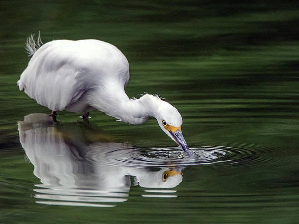 Photograph - Snowy Egret 3151-091918-1cr by Tam Ryan
