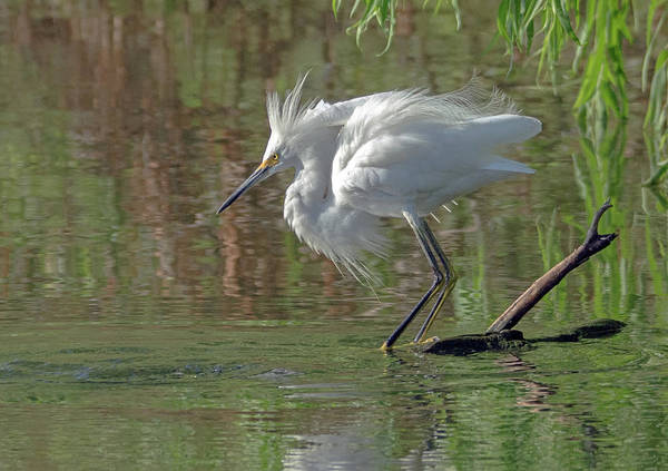 Photograph - Snowy Egret 4459-080119 by Tam Ryan