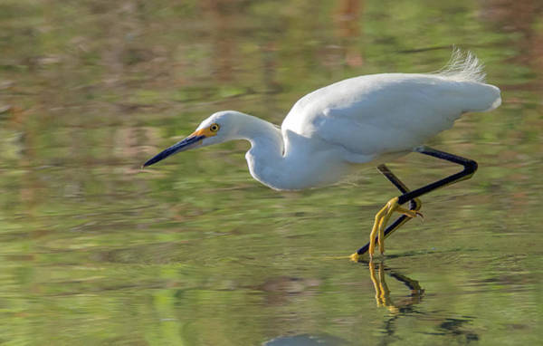 Photograph - Snowy Egret 4460-080119 by Tam Ryan