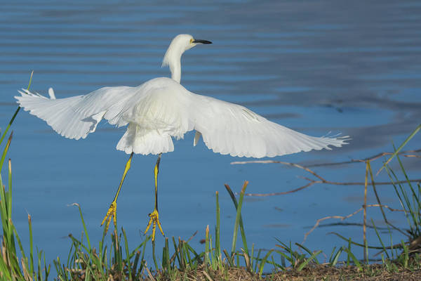 Photograph - Snowy Egret 4467-021619 by Tam Ryan