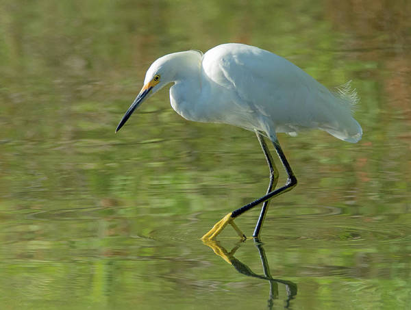 Photograph - Snowy Egret 4470-080119 by Tam Ryan