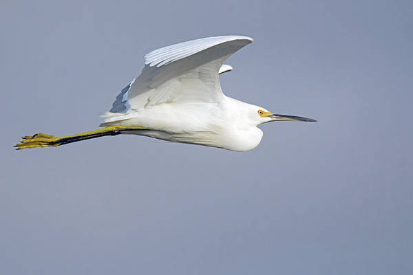Photograph - Snowy Egret 4472-021619 by Tam Ryan