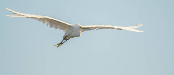 Photograph - Snowy Egret 4519-080219 by Tam Ryan