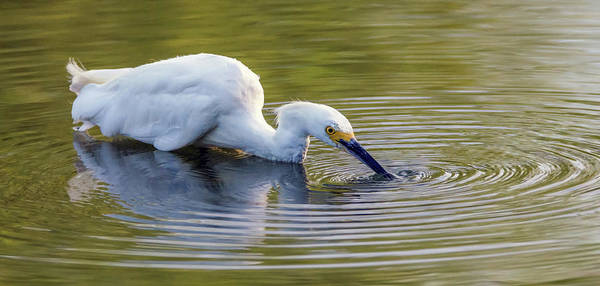 Photograph - Snowy Egret 4523-080219 by Tam Ryan