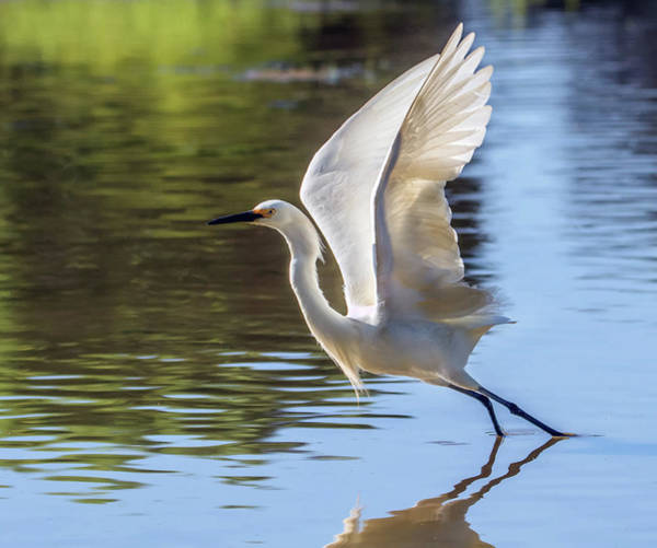 Photograph - Snowy Egret 4750-060419 by Tam Ryan