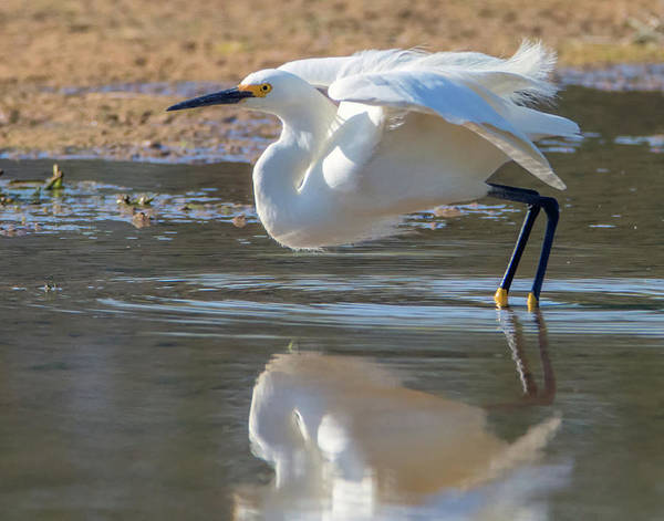 Photograph - Snowy Egret 4755-060419 by Tam Ryan