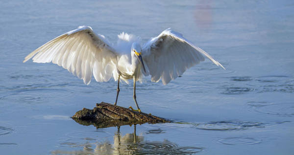 Photograph - Snowy Egret 4851-080819 by Tam Ryan