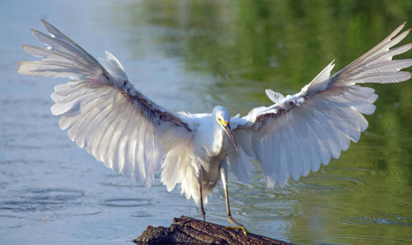 Photograph - Snowy Egret 4937-080819 by Tam Ryan