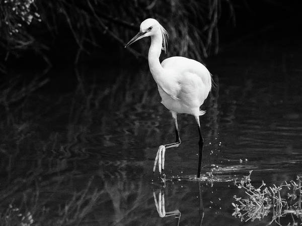 Photograph - Snowy Egret 5121-102218-2cr-bw by Tam Ryan