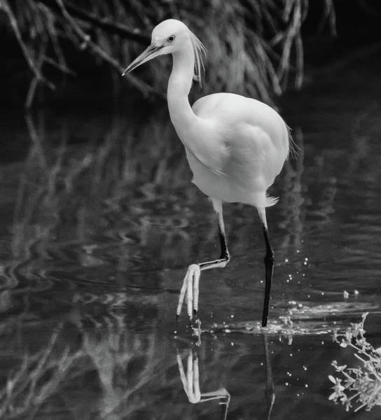 Photograph - Snowy Egret 5121-102218-3cr-2bw by Tam Ryan