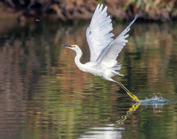 Photograph - Snowy Egret 5292-080919 by Tam Ryan