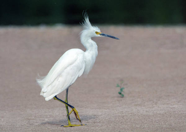 Photograph - Snowy Egret 5347-080919 by Tam Ryan
