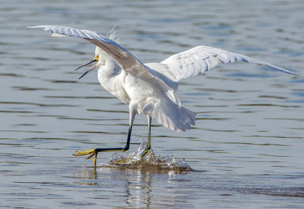 Photograph - Snowy Egret 6182-121718-1 by Tam Ryan