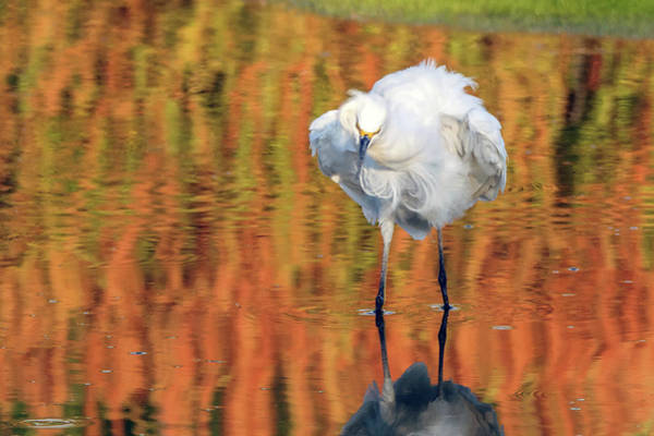 Photograph - Snowy Egret 6248-061219 by Tam Ryan