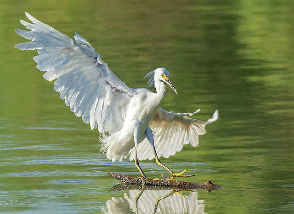 Photograph - Snowy Egret 6291-081219 by Tam Ryan