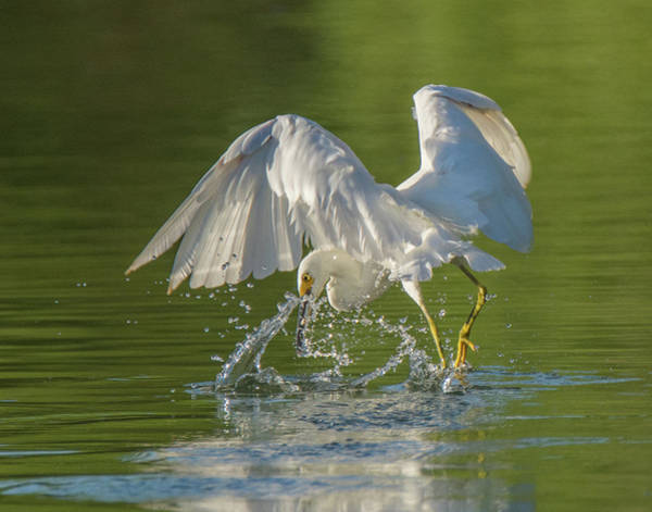 Photograph - Snowy Egret 6451-081619 by Tam Ryan