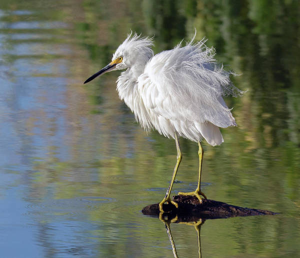 Photograph - Snowy Egret 6494-081619 by Tam Ryan