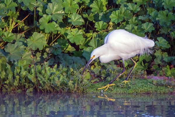 Photograph - Snowy Egret 6495-121918-1 by Tam Ryan