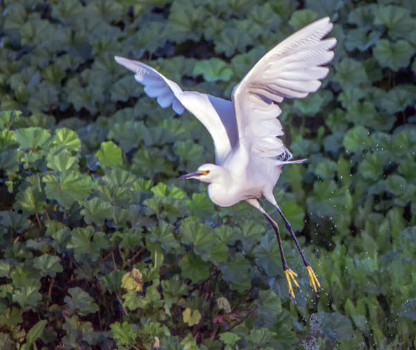 Photograph - Snowy Egret 6498-121918-1 by Tam Ryan