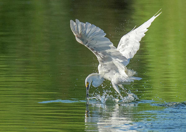 Photograph - Snowy Egret 6500-081619 by Tam Ryan