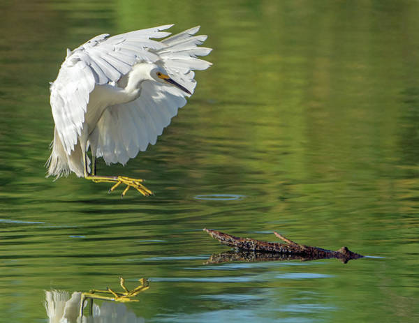 Photograph - Snowy Egret 6561-081619 by Tam Ryan