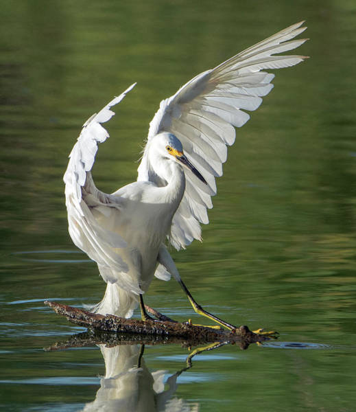 Photograph - Snowy Egret 6562-081619 by Tam Ryan