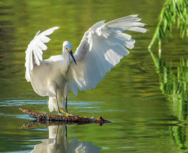 Photograph - Snowy Egret 6574-081619 by Tam Ryan