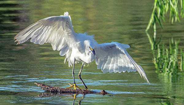 Photograph - Snowy Egret 6575-081619 by Tam Ryan