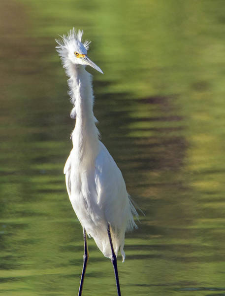 Photograph - Snowy Egret 6604-081619 by Tam Ryan