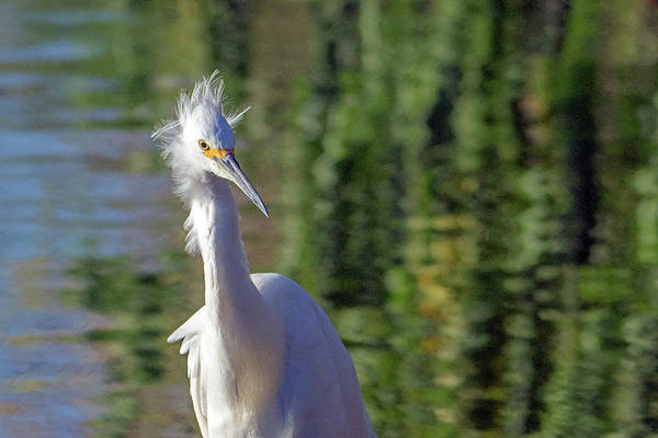 Photograph - Snowy Egret 6616-081619 by Tam Ryan
