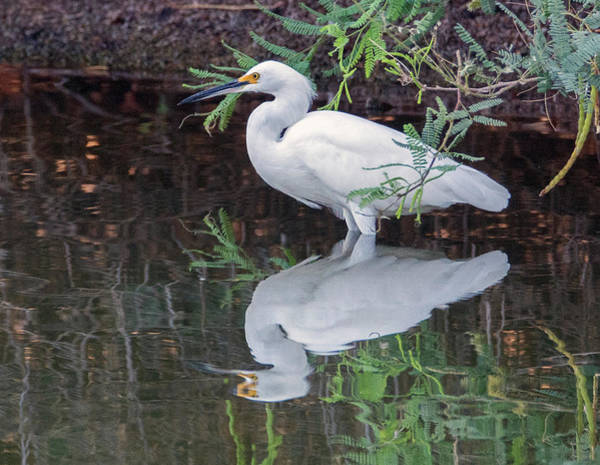 Photograph - Snowy Egret 6737-081819 by Tam Ryan