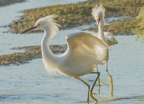 Photograph - Snowy Egret 6834-081919 by Tam Ryan