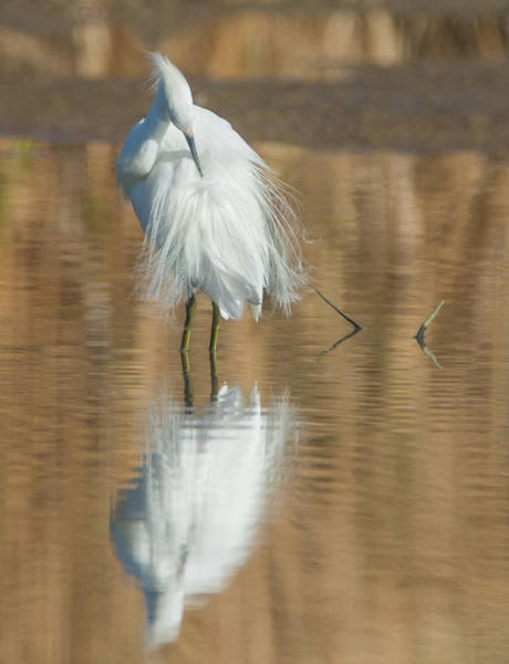 Photograph - Snowy Egret 6912-081919 by Tam Ryan