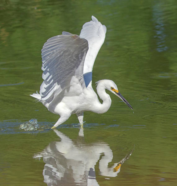 Photograph - Snowy Egret 7006-081919 by Tam Ryan