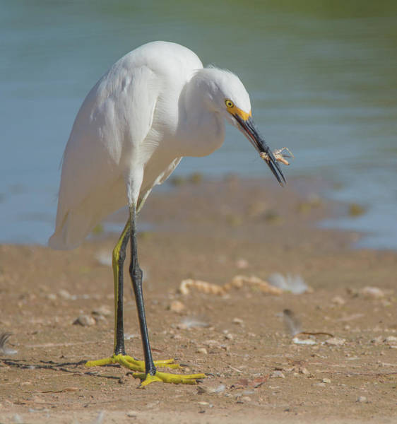 Photograph - Snowy Egret 7025-081919 by Tam Ryan