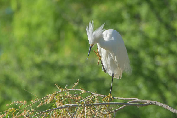 Photograph - Snowy Egret 7375-041819 by Tam Ryan