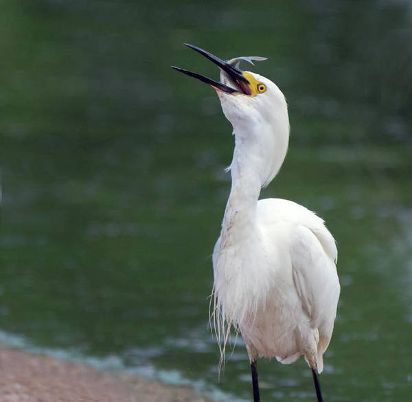 Photograph - Snowy Egret 7791-061719 by Tam Ryan