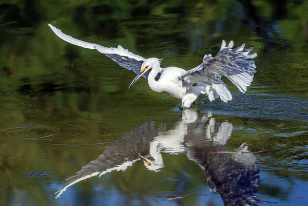 Photograph - Snowy Egret 8422-061819 by Tam Ryan