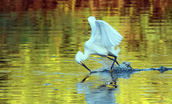 Wall Art - Photograph - Snowy Egret 8591-061919 by Tam Ryan