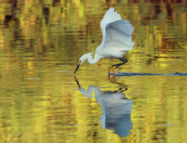 Photograph - Snowy Egret 8618-061919 by Tam Ryan