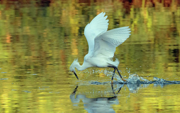 Photograph - Snowy Egret 8619-061919 by Tam Ryan