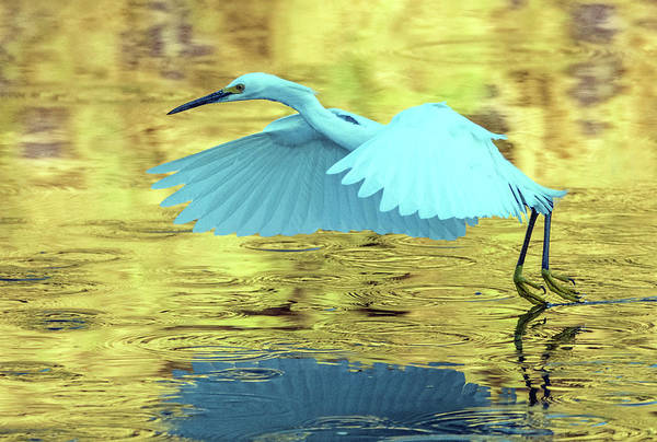 Photograph - Snowy Egret 8643-061919 by Tam Ryan